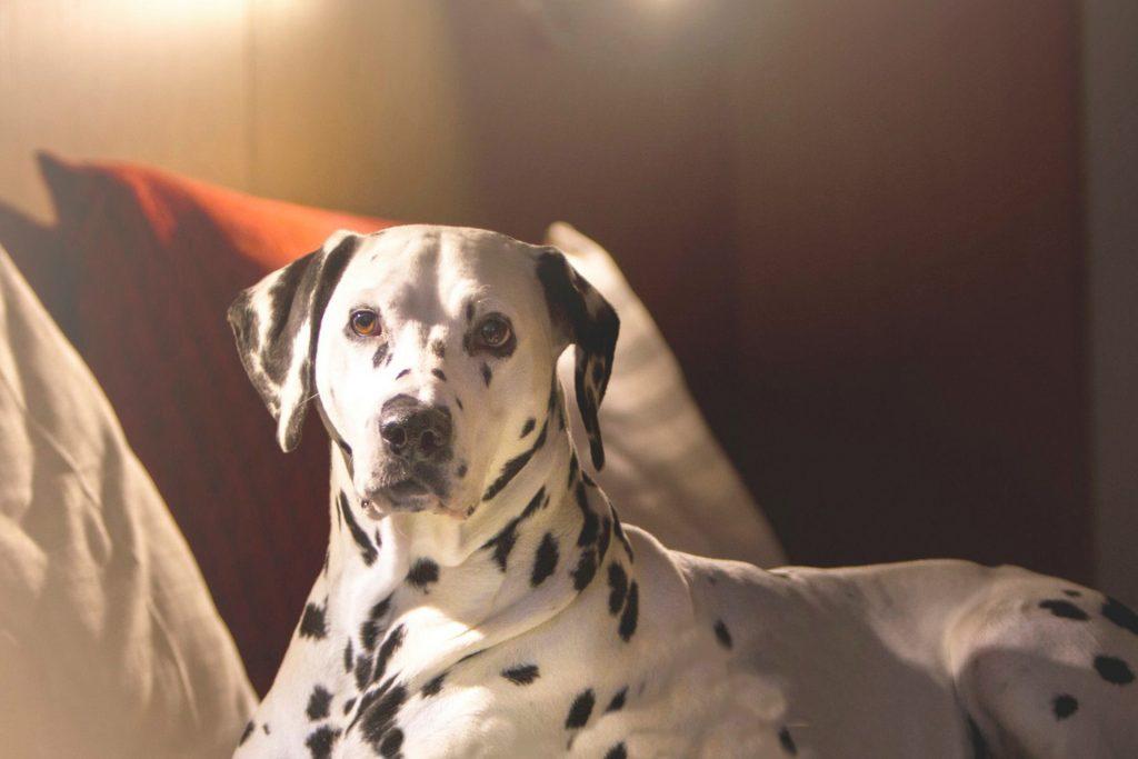 Koira hotellihuoneen sängyllä Hotel Mattsissa, joka tarjoaa lemmikkiystävällisiä huoneita ja huoneistoja Espoon Matinkylässä.