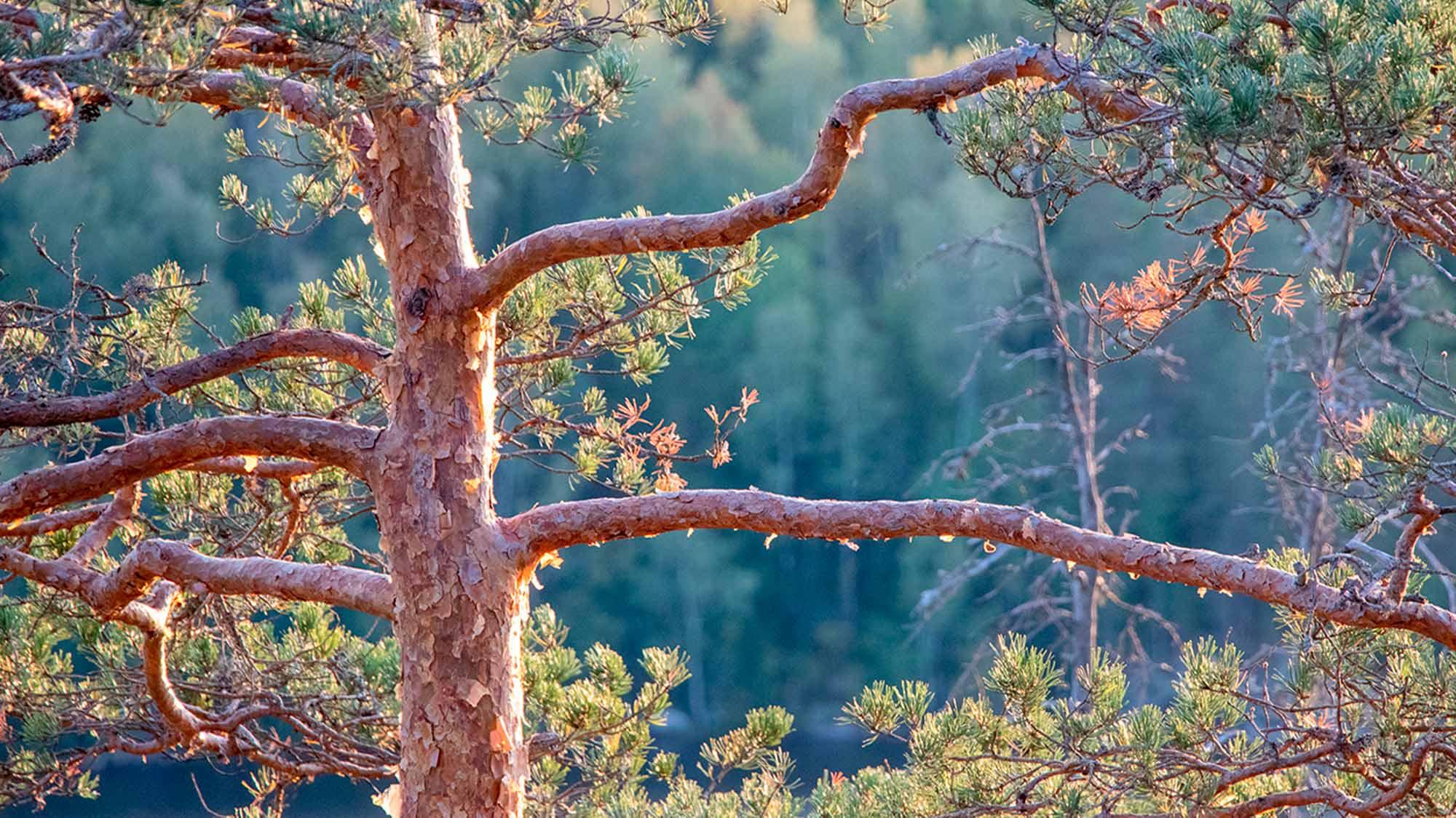 Turvallisuus on meille tärkeää kuvan metsämaisema symboloi tätä.