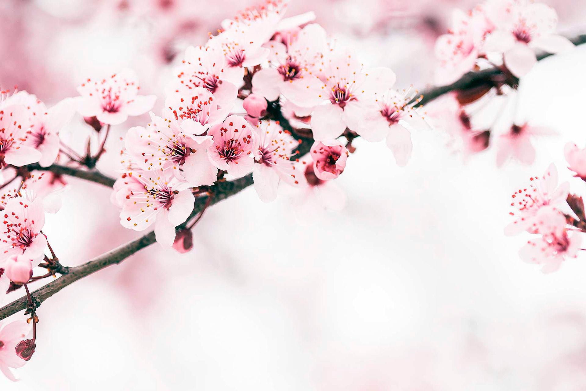 Kirsikkapuun kukkia keväällä Espoossa.