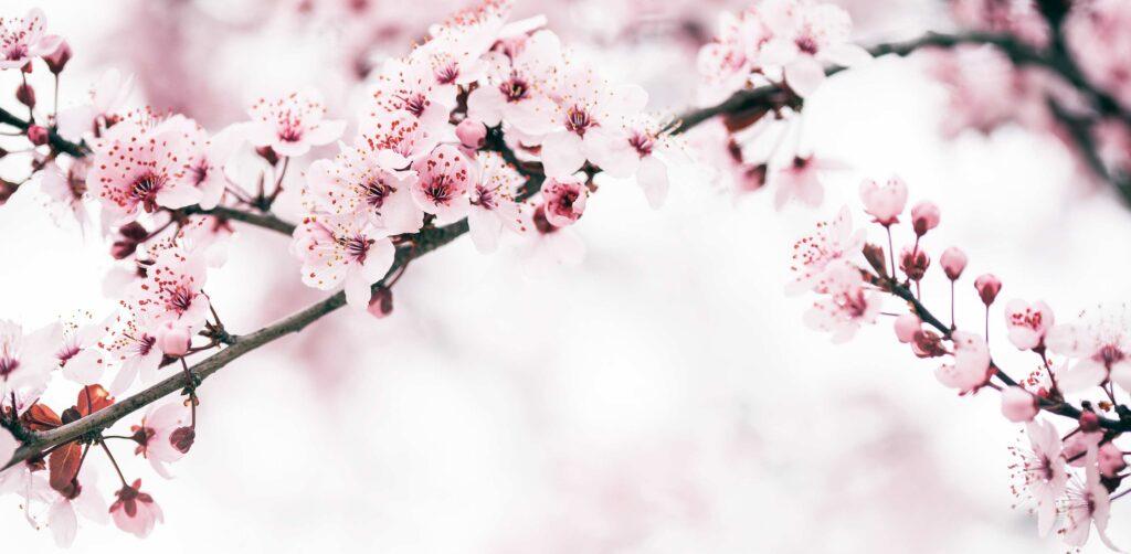 Kirsikkapuiden kukkia äitienpäivänä.